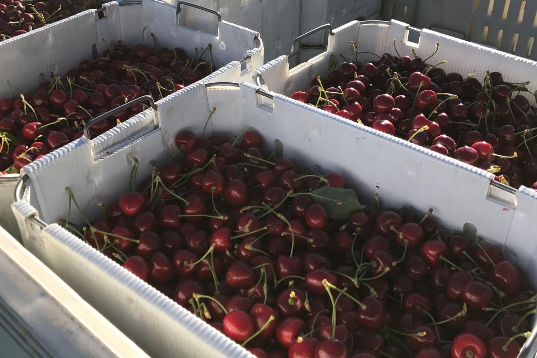 Fuller Orchard Cherries